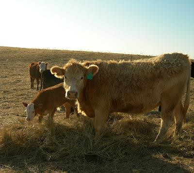 calves in hay