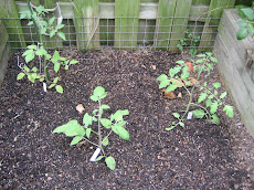 Fall Tomatoes in Raised Bed
