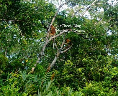 proboscis monkey tour sabah