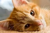 Hey-lo.~ Yellow_tiger_cat