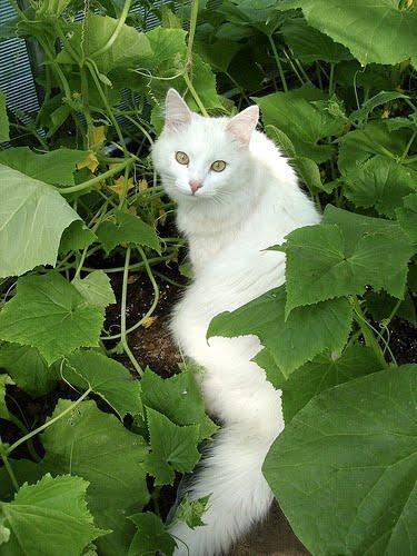 turkish angora cats photos