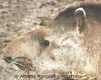 tapir