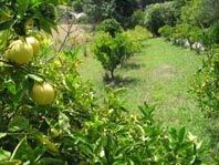 Citrus orchard