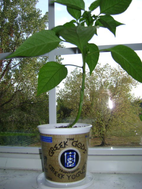 Eco-Friendly Freckles: Repurposed Yogurt Cup Planters and Our Window on