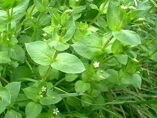 Chickweed Herb Benefits http://ecofriendlyfreckles.blogspot.com/2010/10/bountiful-benefits-of-chickweed.html