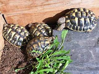 Tarta rughe una dieta equlibrata per le tartarughe for Tutto per le tartarughe