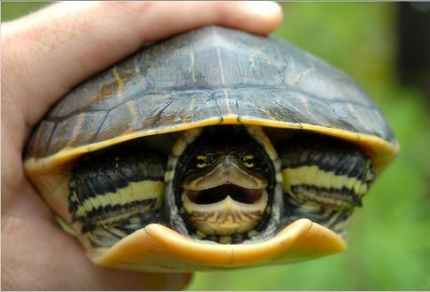 Tarta rughe riconoscere una tartaruga acquatica sana for Tartarughe acqua dolce prezzo