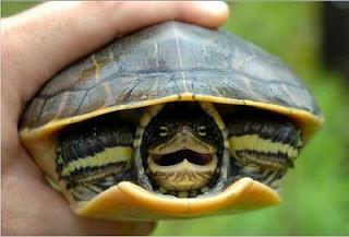 Tarta rughe riconoscere una tartaruga acquatica sana for Riscaldatore per tartarughe