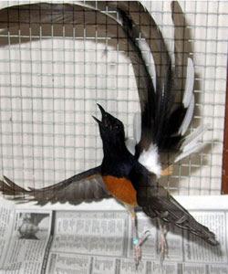 di pasar burung berkicau tanah air khususnya pasar buru