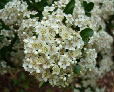 pyracantha flowers at 2 Green Acres, a Maryland Garden