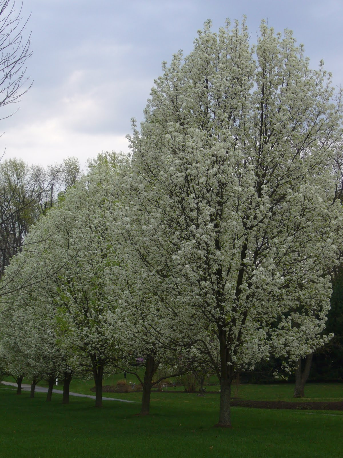 2 Green Acres Just Say No To Bradford Pear Trees: bradford pear