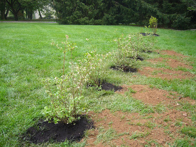 the beginnings of a native plant hedgerow at 2 Green Acres, a Maryland garden