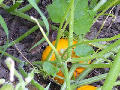 baby rabbit in Maryland home vegetable garden