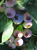 Native plant from 2 Green Acres - Blueberry