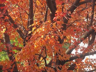 Sugar maple, a native plant for the Maryland garden
