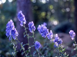 Anconitum, Monkshood, Wolfsbane photo