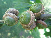 American acorns
