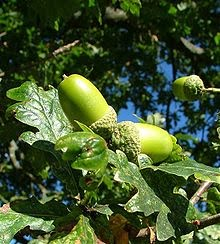 early acorns
