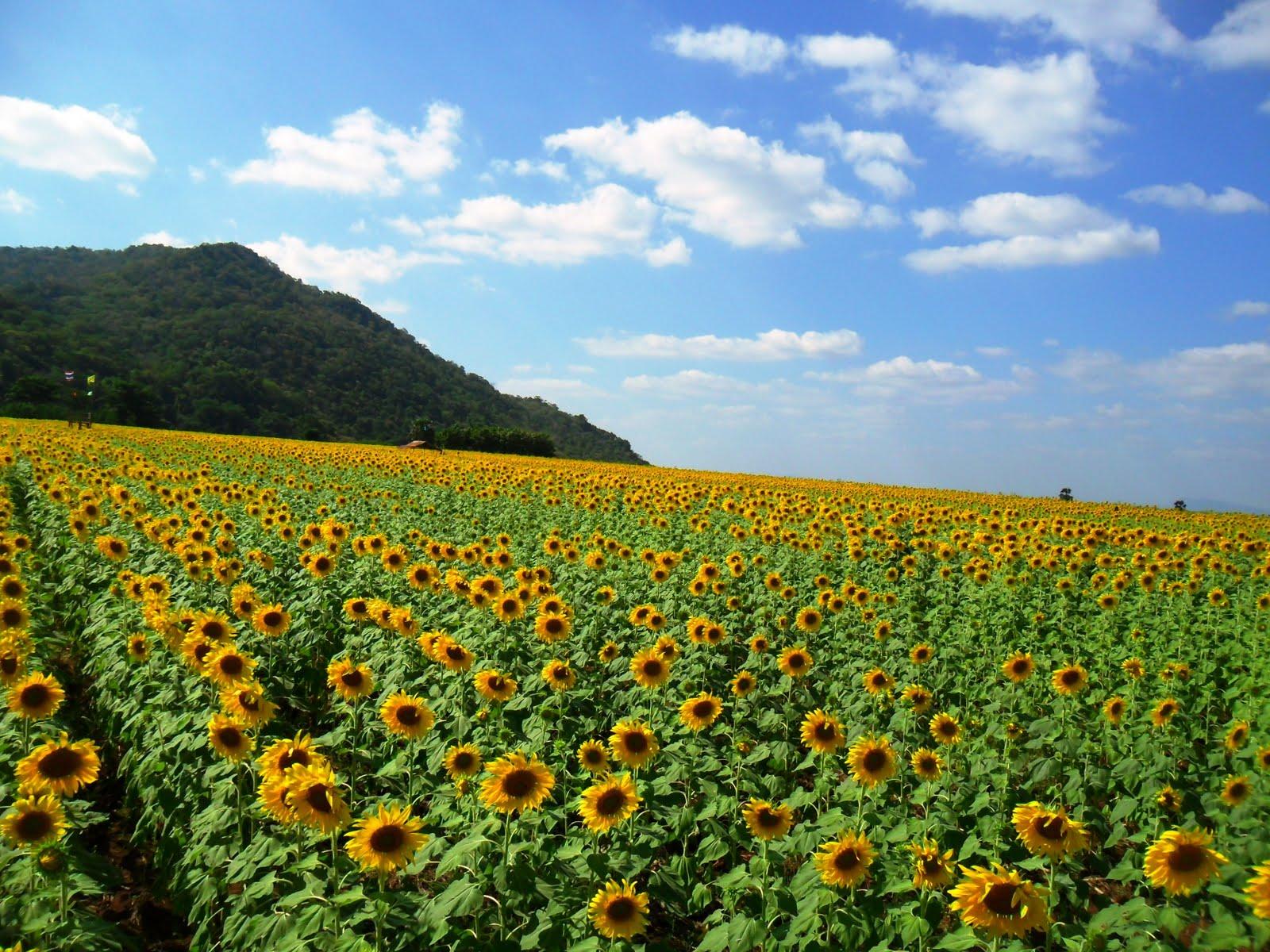 Delineating Des Sunflower Field Thailand