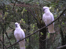 Cockatoos at Badger Creek Weir