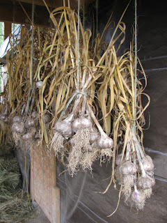 Growing Garlic   Part 3 Harvesting Garlic