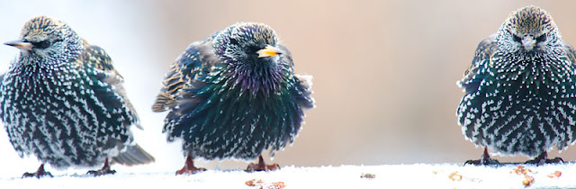 Three starlings sit together in the snow...not happy looking at all!
