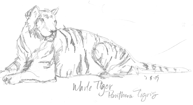 Sketch of a White tiger by Kelly Riccetti at the Cincinnati Zoo in 2009. The White Tigers were very cooperative and lounged in front of us!