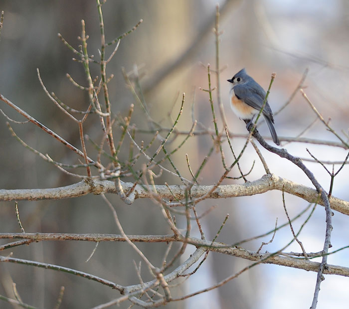 Tufted Titmouse (Baeolophus bicolor) mirrors the stillness of winter.