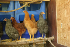 My Chickens