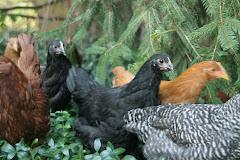 Chickens' Garden