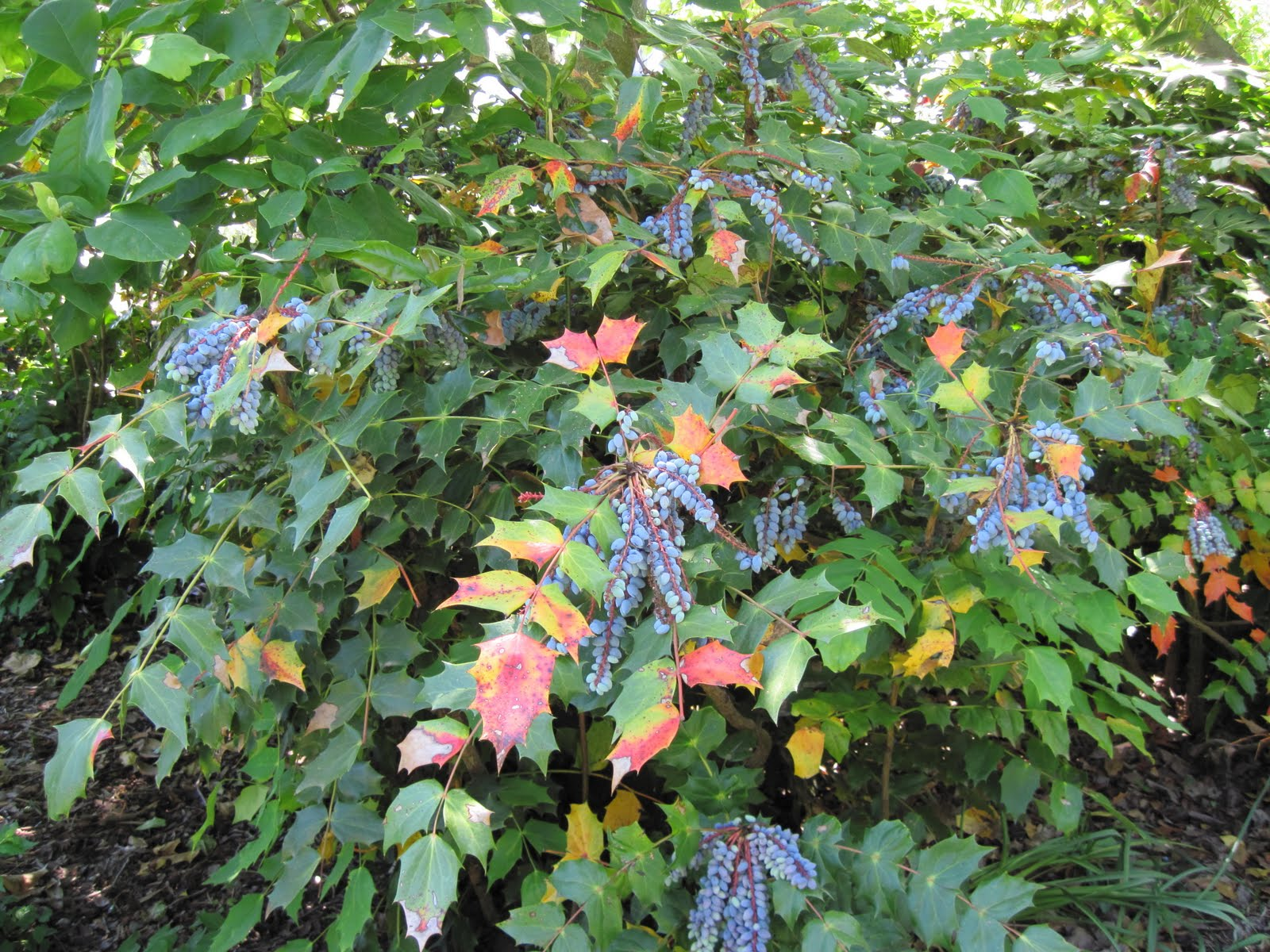 Central Virginia Organic Gardener: Rethinking mahonia? Maybeeee