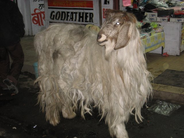 [goat]