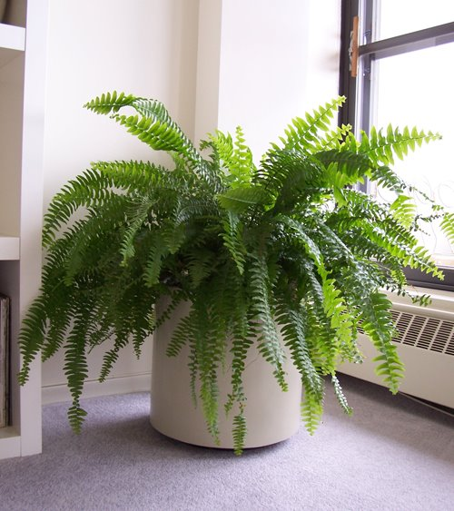 Plants in the office - Blog - P.I.C. Maintenance - fern