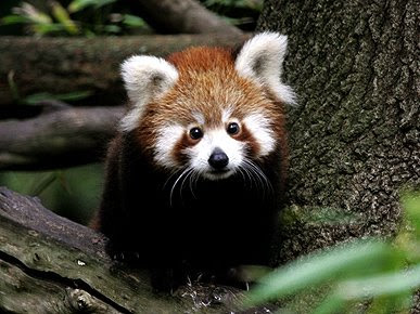 Cute Baby Animals Photo Red Panda