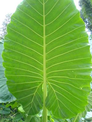 Big Leaf Photo