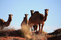 Wild camels on top of a dune