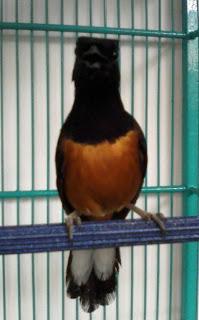Download Suara Burung: MURAI BATU