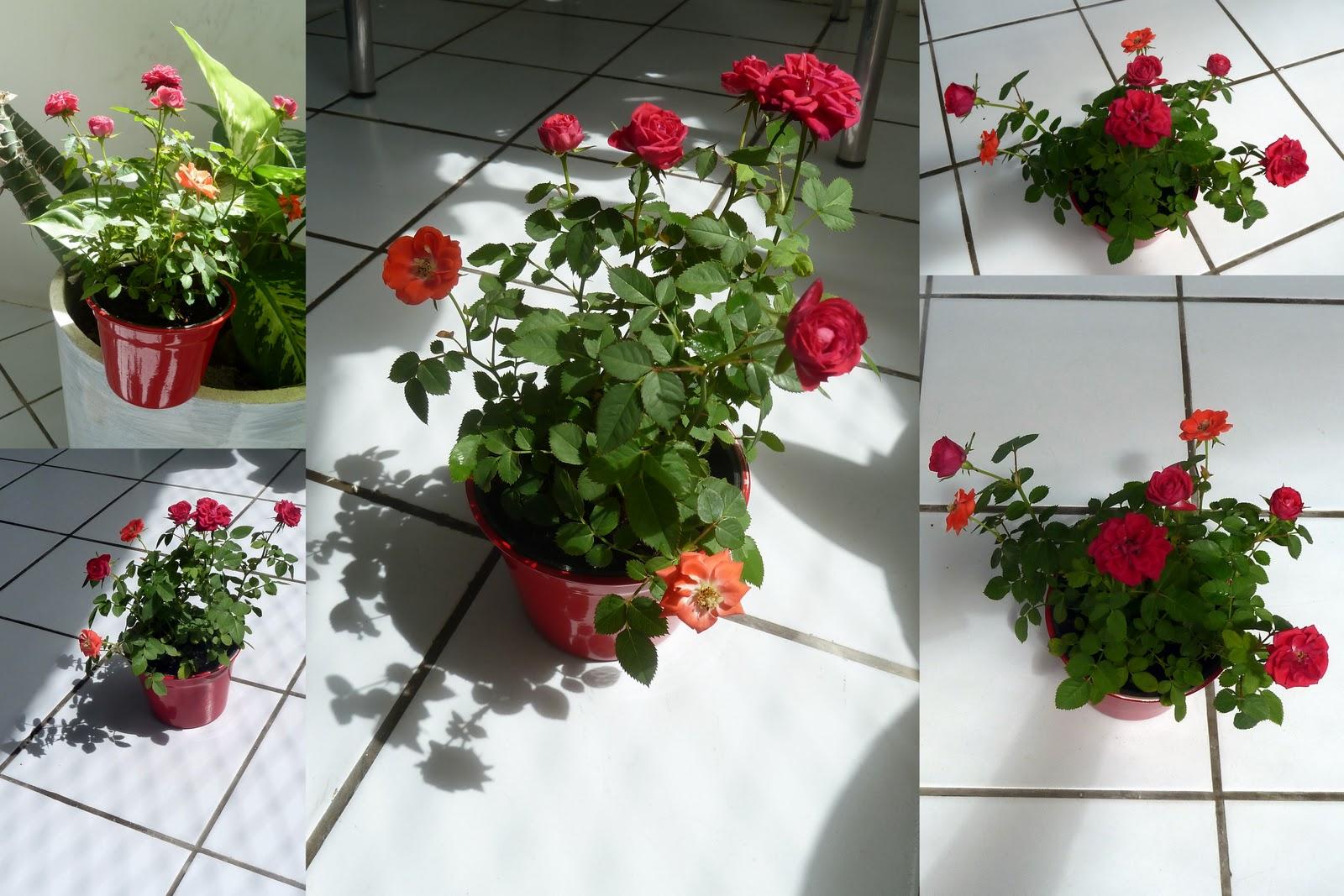 DESPERTA As rosas do meu jardim!