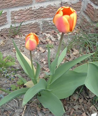 [Photo: red and yellow tulip.]