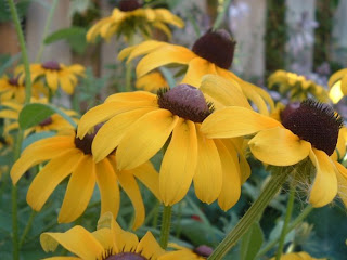 [Photo: Rudbeckia hirta.]