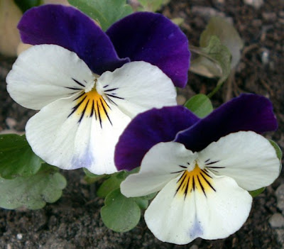 [Photo: viola 'Sorbet Coconut Duet']