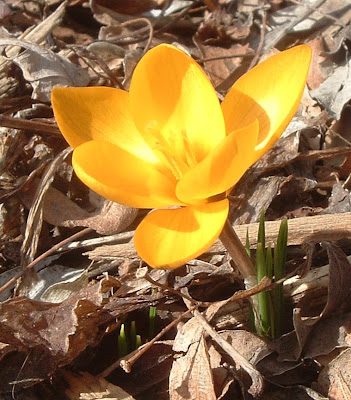 [Photo: close-up of bright yellow crocus.]