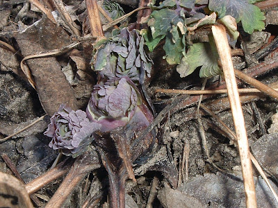 [Photo: Aquilegia leaves emerging in spring.]