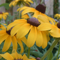 Rudbeckia hirta