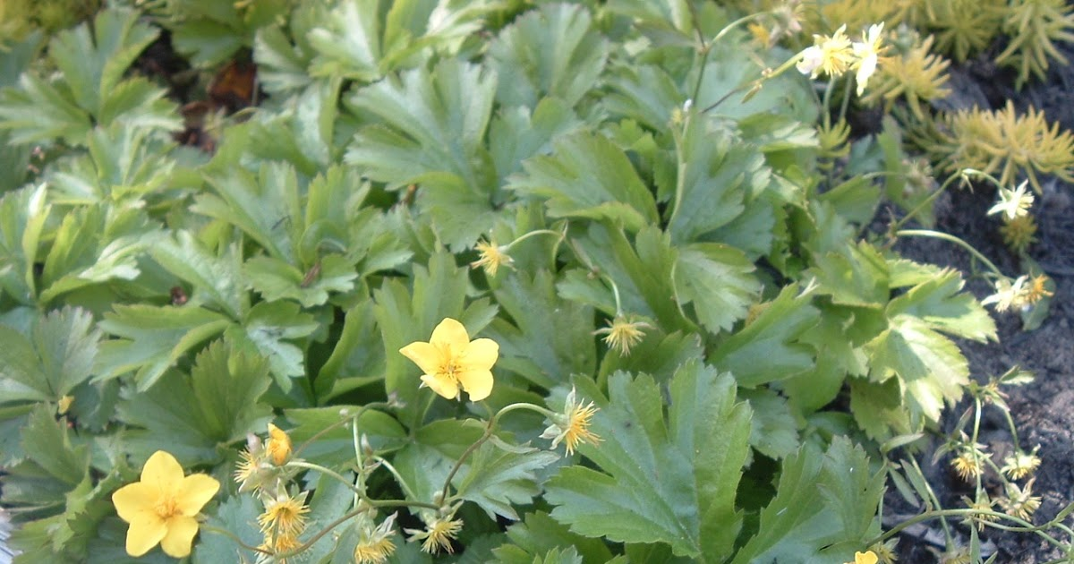 toronto gardening all year round toronto native plants starting with w waldsteinia fragaroides. Black Bedroom Furniture Sets. Home Design Ideas