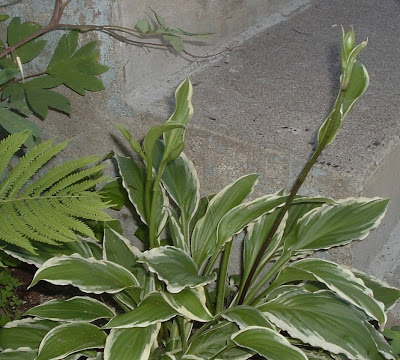 [Photo: Hosta flower buds.]