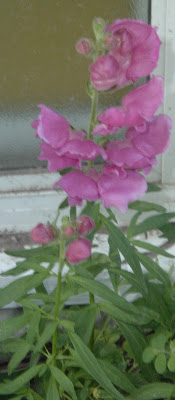 [Photo: pink Antirrhinum majus volunteer.]