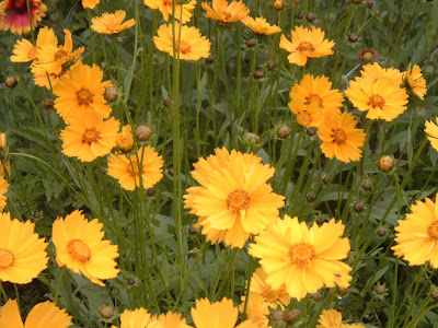 [Photo: Coreopsis lanceolata flowers.]