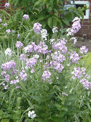 [Photo: Hesperis matronalis.]