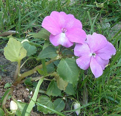 [Photo: Impatiens walleriana 'Accent Lavender Blue'.]